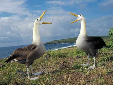 Albatrosses on Espanola