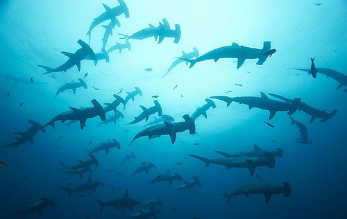 Diving with Hammerheads