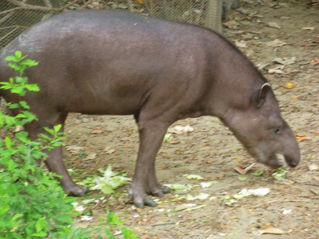Tapir at the Historical Parque